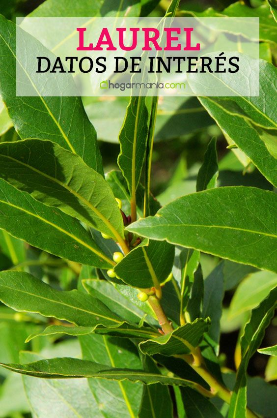 M s de 25 ideas incre bles sobre de hoja perenne en for Arboles para jardin de hoja perenne