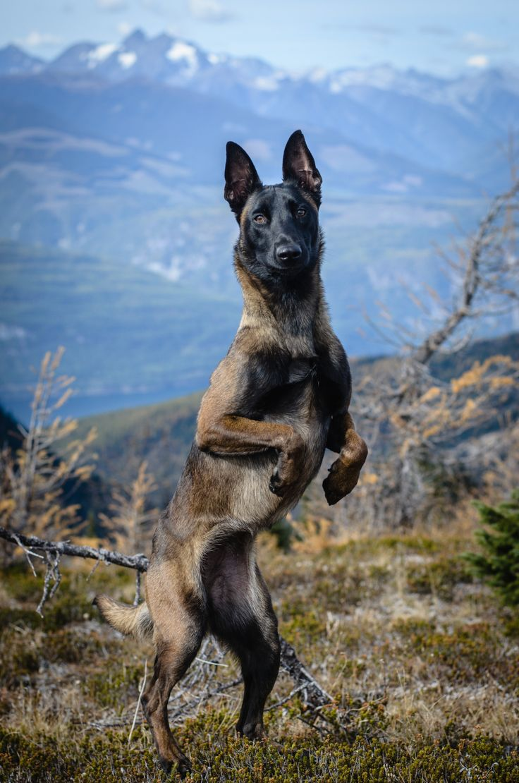 german shepherd belgian malinois the 25 best belgian malinois ideas on pinterest belgian 3470