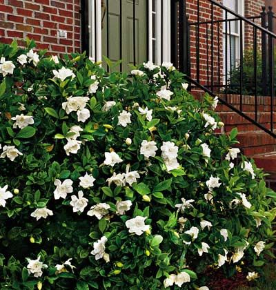 "Caring For Your Gardenias Plant gardenias where they will get morning sun and afternoon shade. Good air circulation is a must. Gardenias prefer moist, acid soil with good drainage & lots of organic matter. When planting, set the root-ball about 1"" higher than the surrounding soil. Gently taper the soil up to the top of the exposed root-ball. Mulch. Pests (whiteflies, scales, & mealybugs). can be a problem. Control by applying a light horticultural oil to prevent sooty mold."