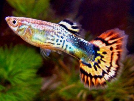 Guppy, poisson d'eau douce                                                                                                                                                                                 More