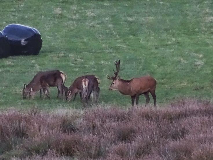 Cornish Chickpea: Wild Deer Spotting