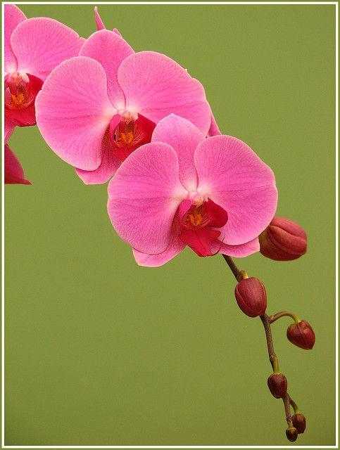 pink orchid photo by Supriya O