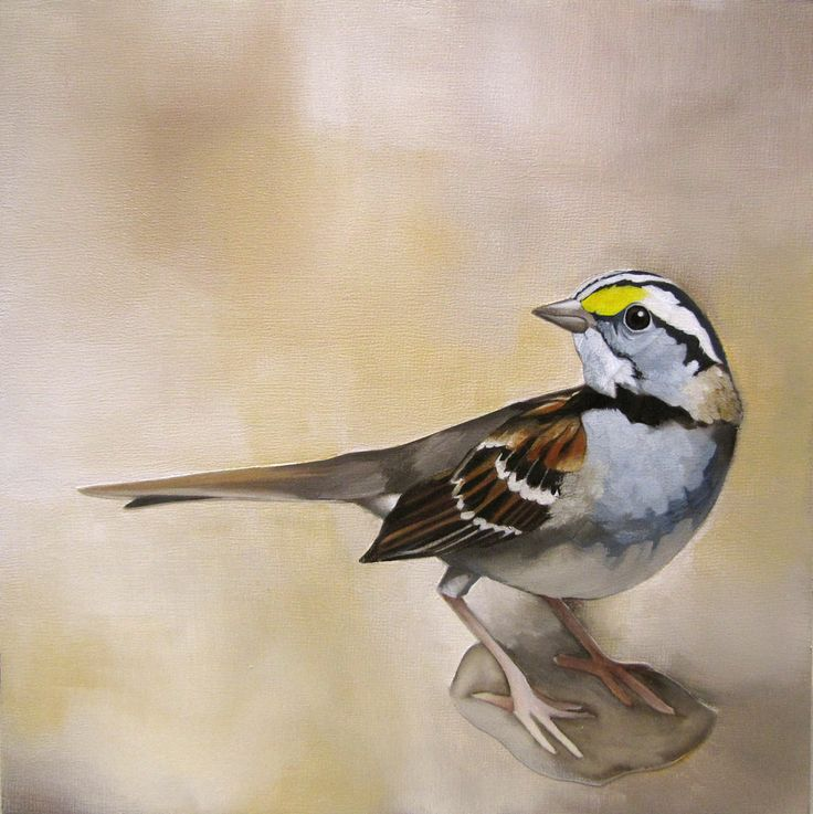 White Throated Sparrow  Acrylic on Panel, 8x8 inches www.amyshawley.com