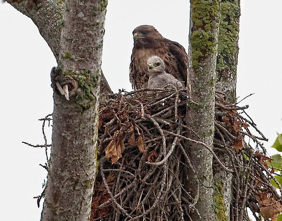 red tail hawk and her baby.  Adorable!