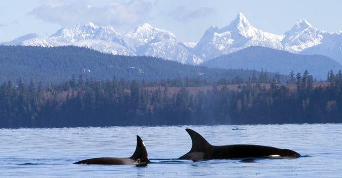 Orcas in Sutil Channel, Quadra Island