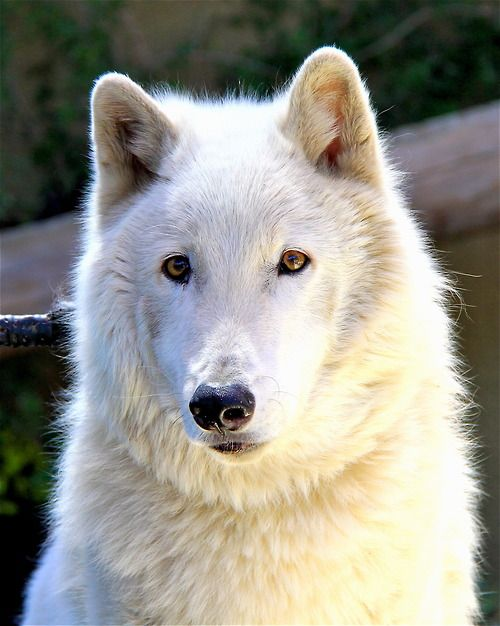 I do so solemnly swear that Kenai is the most photogenic arctic wolf on the planet :)