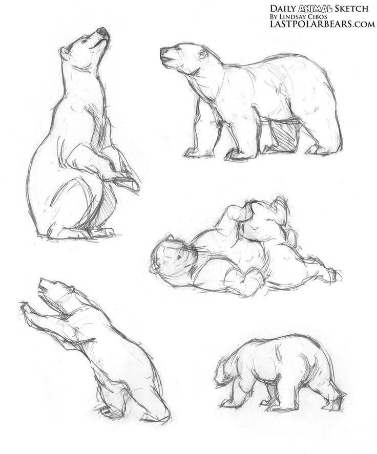 Daily Animal Sketch – Polar Bear Warm ups – The Last of the Polar Bears