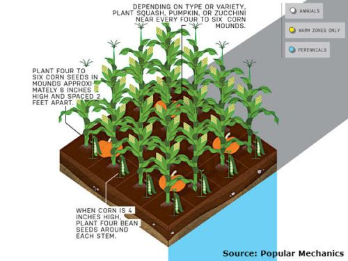 17 best ideas about corn plant on pinterest companion for Best way to lay out a garden