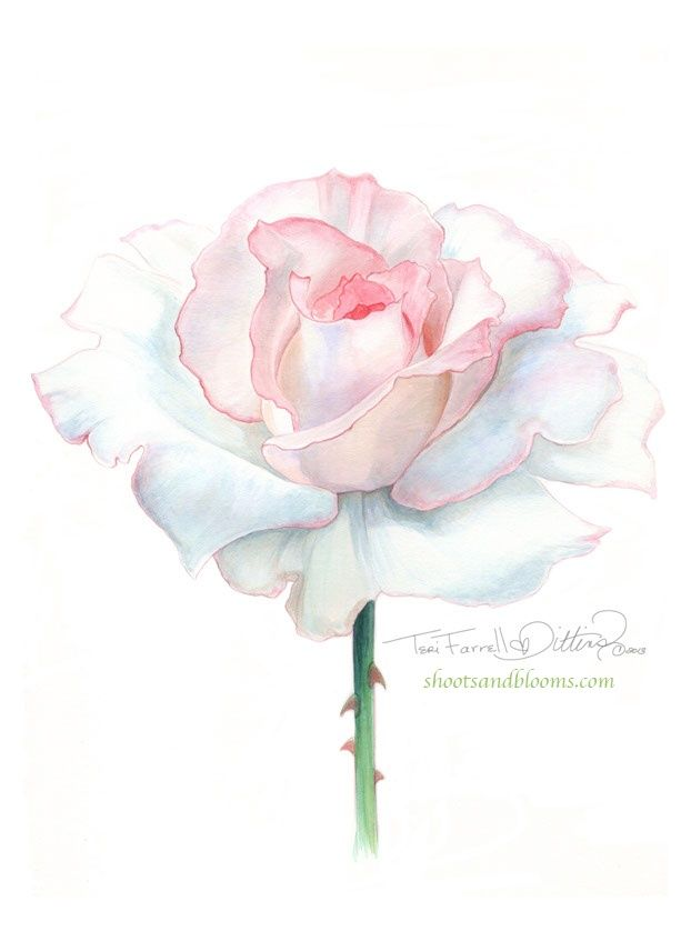White rose of peace. Watercolor painting by Teri Farrell-Gittins at Shootsandbloom.com