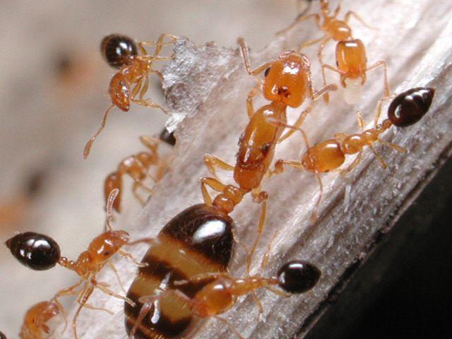 黑腹小家蚁monomorium Intrudens 小家蚁属 蚂蚁分类图摘antspic Com