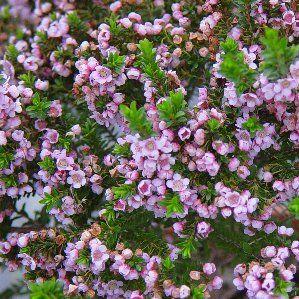 1000 ideias sobre plantas de sol pleno no pinterest for Arbustos de hoja perenne resistentes al frio