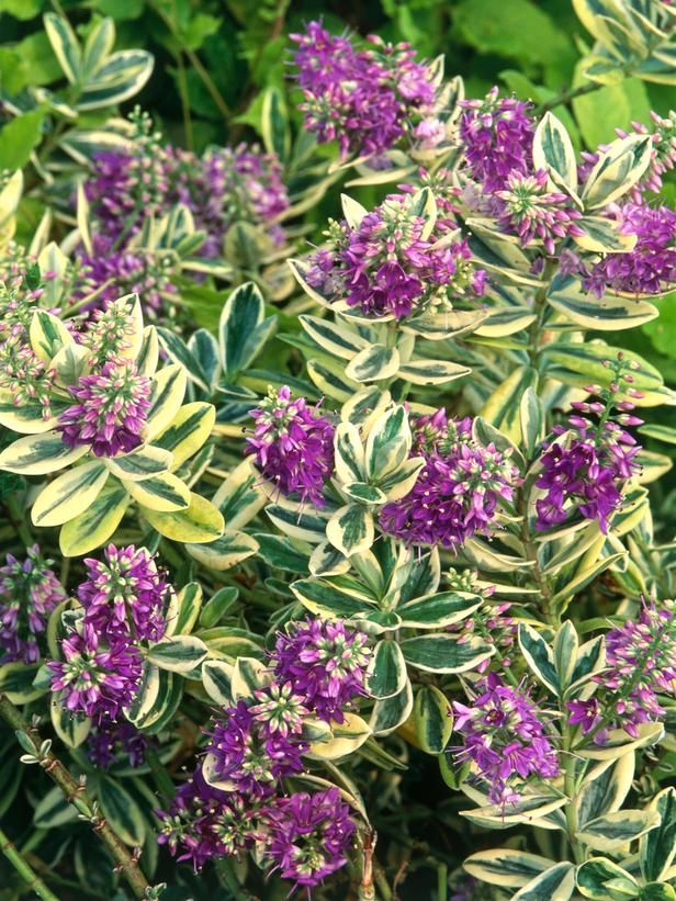 Hebe 'Silver Queen' - Landscapers' Picks: The 10 Best Shrubs for Pots on HGTV