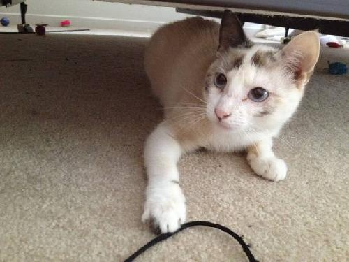 Chiva is an adoptable kitten from Austin Siamese Rescue.