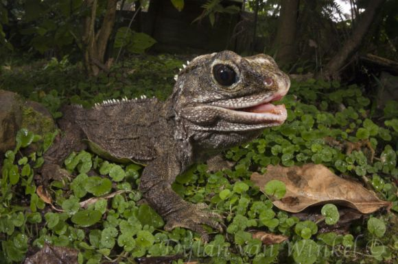Northern tuatara on Hauturu/Little Barrier Island—this fellow is part of an island breed-for-release programme. Photo © Dylan van Winkel.