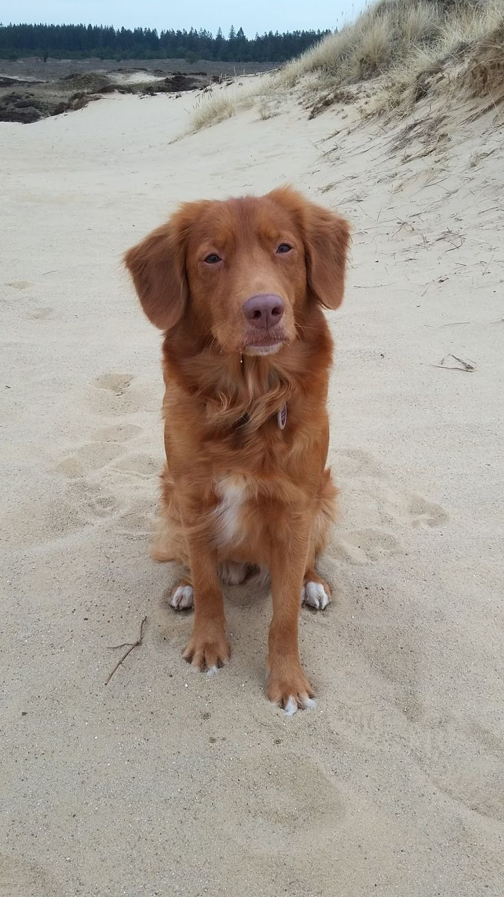 833 best Tukker - Tollers images on Pinterest | Nova scotia duck ...