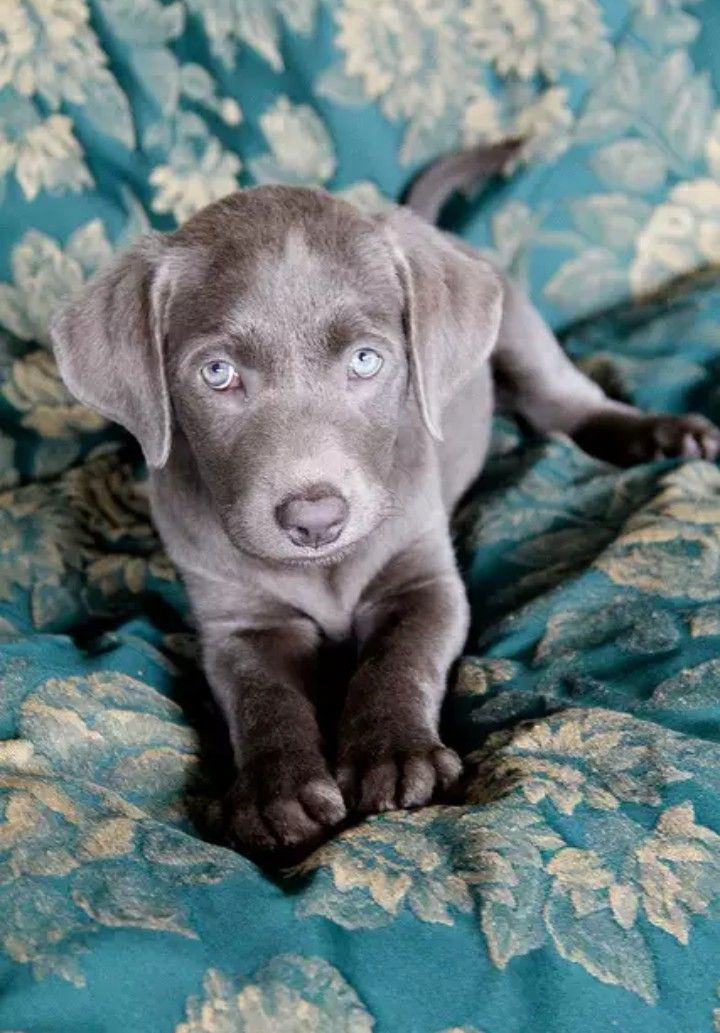 17 Best Weinheimer Dog Images On Pinterest Weimaraner
