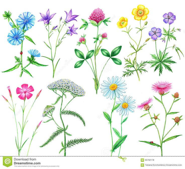 12 besten wiesenblumen bilder auf pinterest wiesenblumen rosa und abbildungen. Black Bedroom Furniture Sets. Home Design Ideas