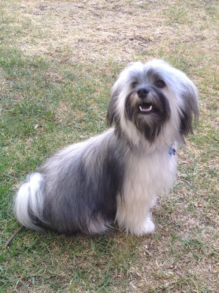 392 best images about Happy Havanese on Pinterest | Toy