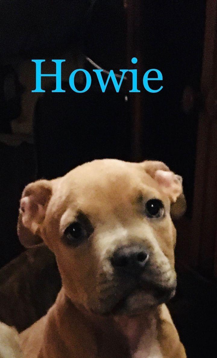 Adopt Howie On Adoption Pet Adoption Animal Rescue