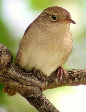 How to attract Wrens to your backyardBirdie Boards, Awesome Boards, Animal Things, House Wren, Birds Feeding, Attraction House, Attraction Wren, Beautiful Birds, Birds Things