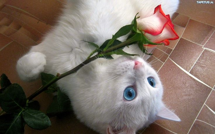 kot z różą - Google-søk