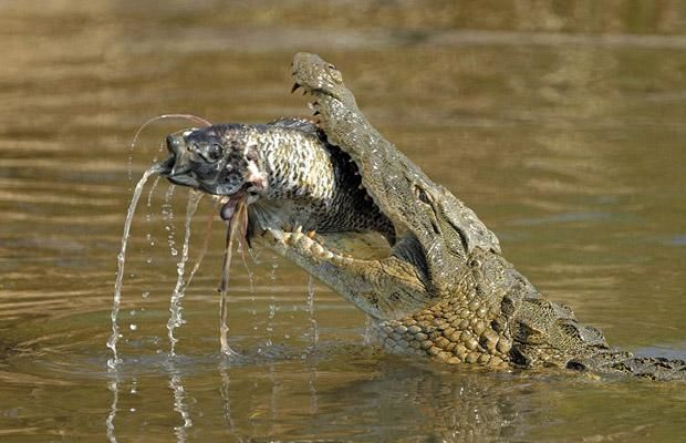 Animals eating Animals: Crocodile eating Shark