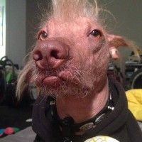 World's Ugliest Dog - Sonoma Marin Fairgrounds & Event Center. Morris won second place