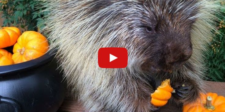 Teddy Bear is a talking (yes, talking) porcupine taking the internet by storm.