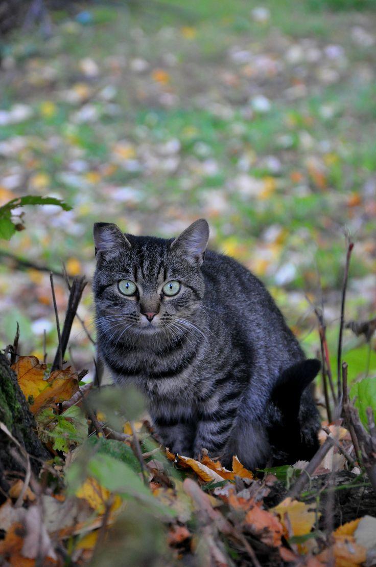 Cirmos macska ősszel. Cat. Autumn. Hungary, Balatonföldvár. Tabby cat.