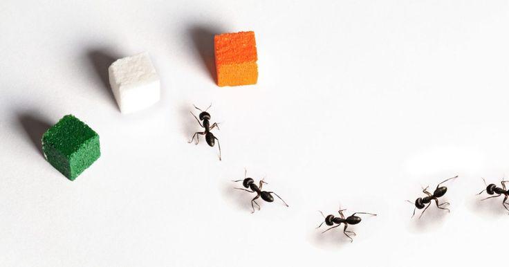 Cómo liberarme de las hormigas del azúcar. Las hormigas del azúcar son las hormigas que se alimentan de alimentos dulces, como las frutas, miel y otros alimentos con azúcar natural o agregada. Una vez que las hormigas del azúcar logran encontrar una fuente de alimento en tu cocina, rápidamente establecen un campamento en las cercanías. Las hormigas de la cocina pueden venir del exterior o ...