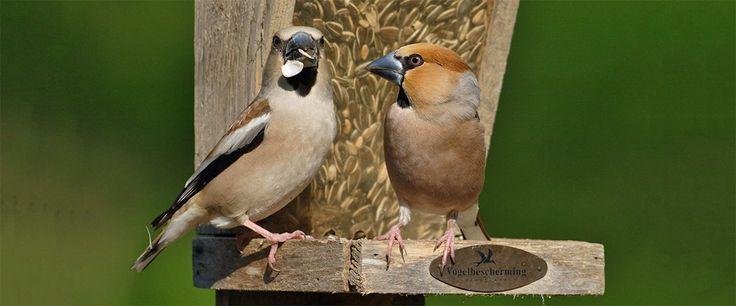 Aan de vorm van zijn snavel kunt u zien wat vogels het liefst eten. Hier een overzicht van wat de meeste bekende tuinvogels het liefst eten.