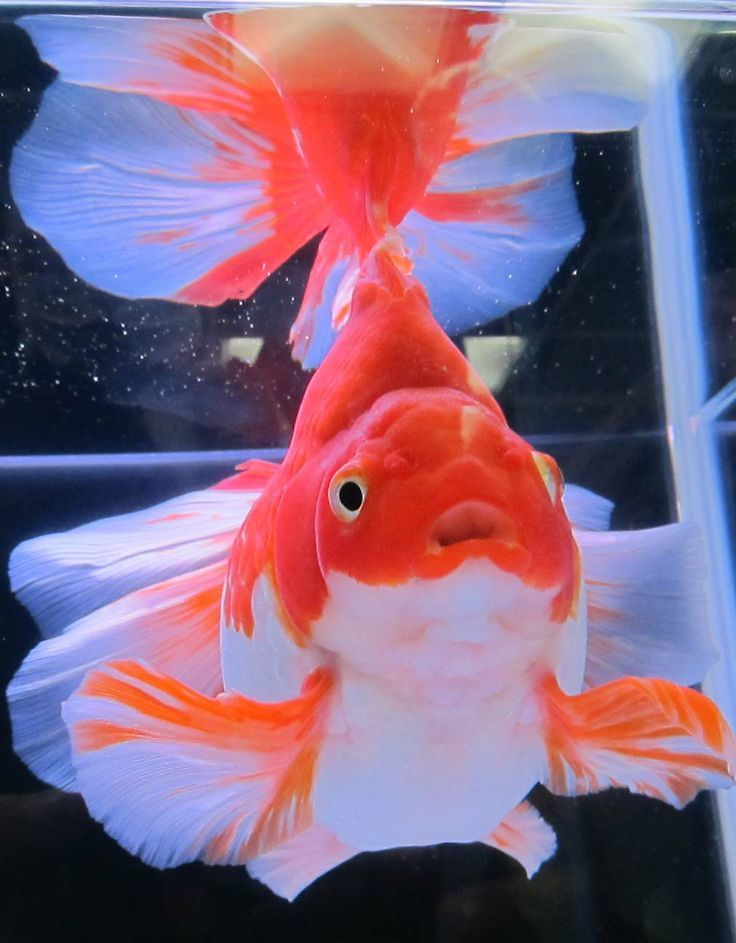 1000 images about gold fish types feash water on for Fancy koi fish