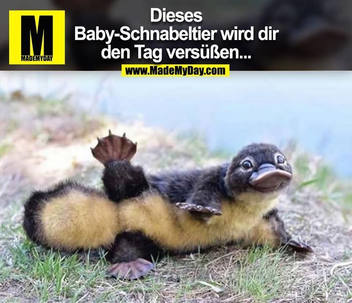 Dieses Baby-Schnabeltier wird dir den Tag versüß…