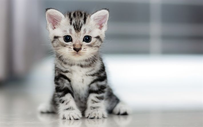 Download wallpapers American Curl, small gray kitten, 4k, breeds of cats, small cat
