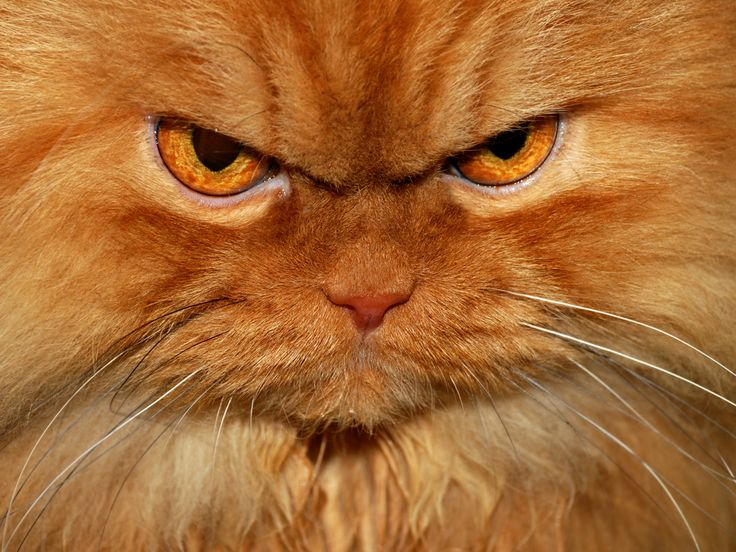 Best Angry Cat Garfi Images On Pinterest Angry Cat Cat Meme - Garfi is officially the worlds angriest cat