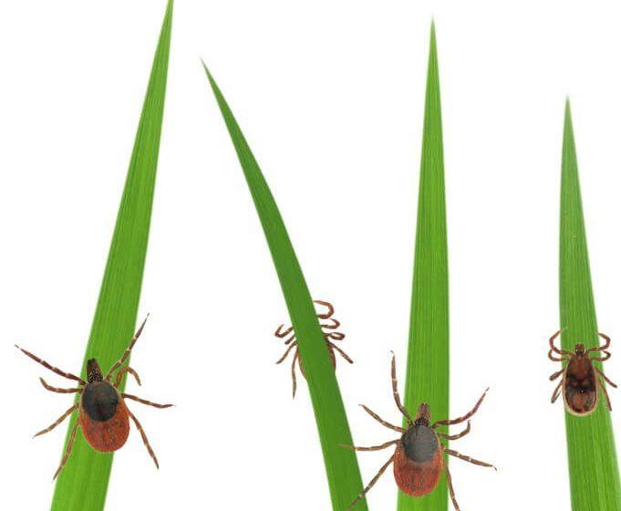 Photo of ticks on grass stalks isolated on white
