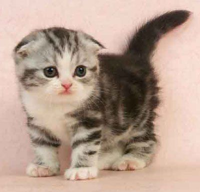 I love the Scottish Fold breed!!Tap the link to check out great cat products we have for your little feline friend!