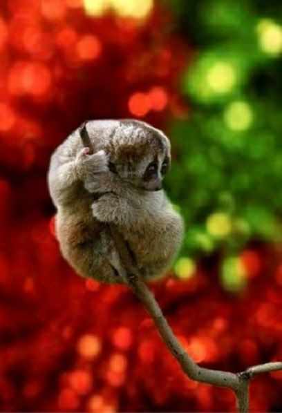 """The """"Sunda Slow Loris.""""  ~  """"I'm Just Holding on!""""  (Native to Indonesia, Western Malaysia, Southern Thailand and Singapore. The Common Name for it in Indonesia is: """"KuKang."""")       ✿⊱╮                              Photo By: Frenki_Jung on 500px."""