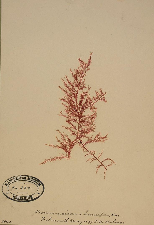 A specimen of Bonnemaisonia hamifera (a red seaweed), Manchester Museum, 1897.