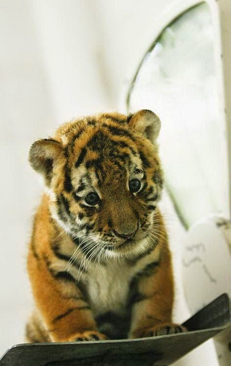 Tattoos And Animals: A Little Tiger, Baby Animals Looking Sad