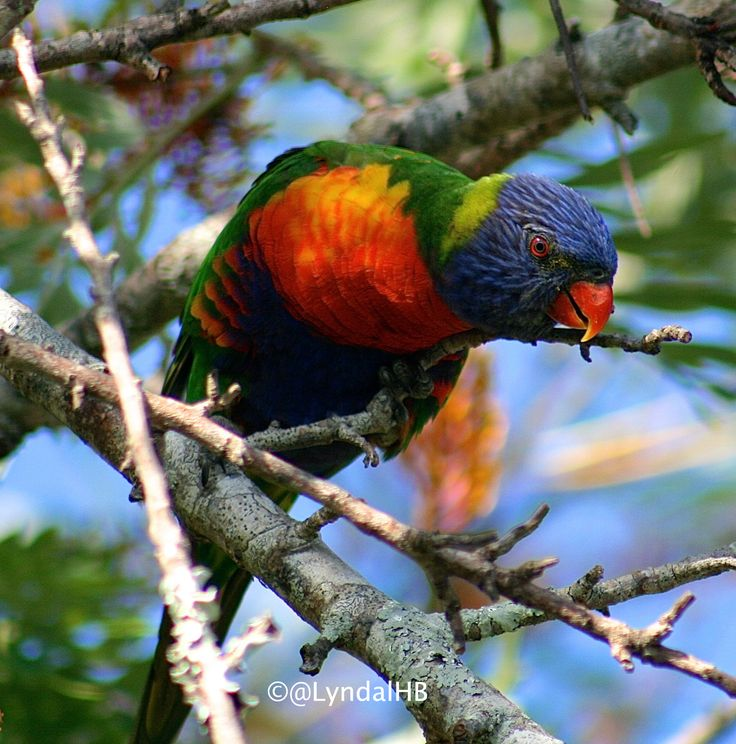 Rainbow lorikeet in our garden #birds #nature #wildlife #parrots