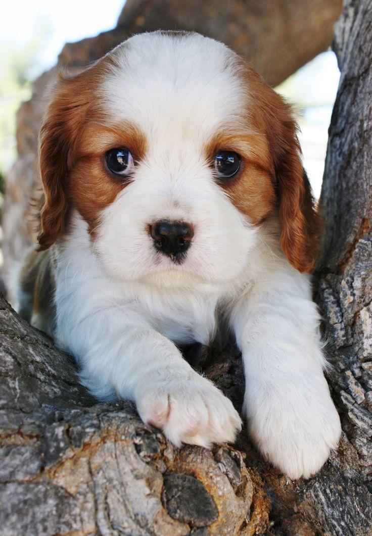 English Cream Golden Retriever Puppies for Sale, Cavalier