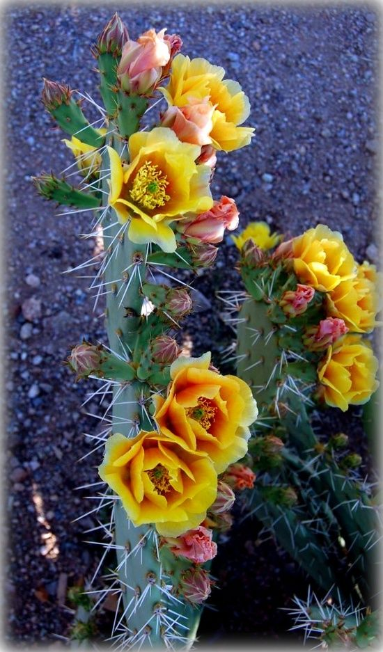 Beautiful desert cacti in bloom