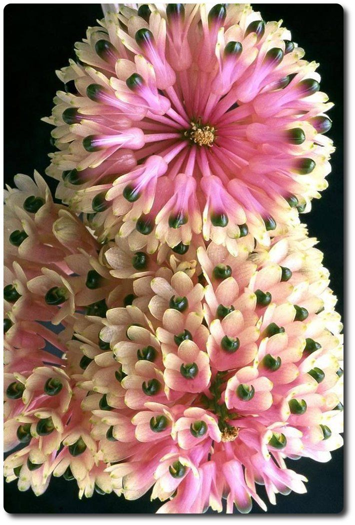 Orquídea Dendrobium Smilliae