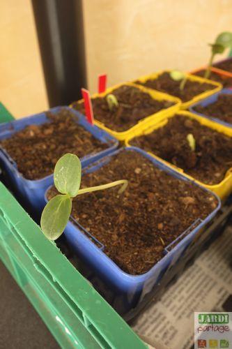 Quand et comment semer les concombres à l'intérieur de la maison ou en pleine terre ?
