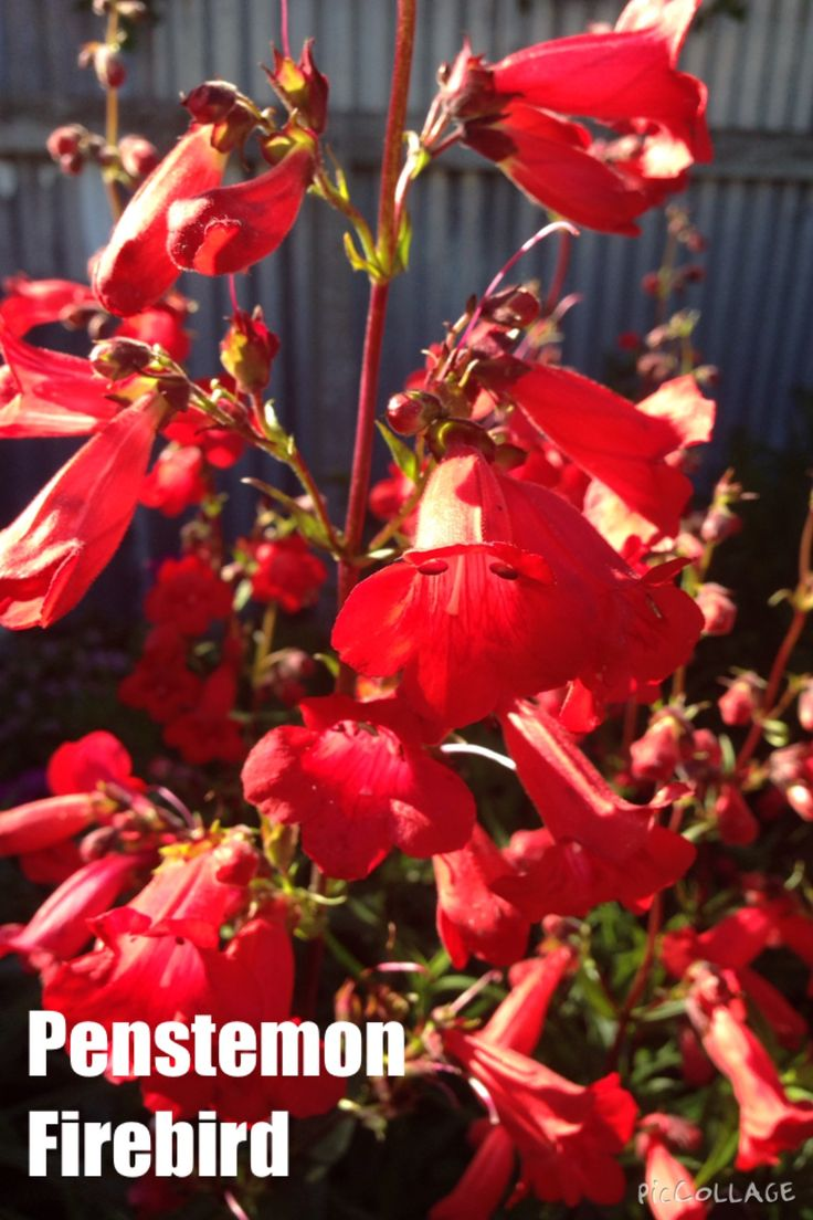 PENSTEMON firebird