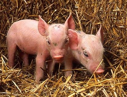 A hog farm was recently exposed for feeding dead piglets' intestines to other sows on the farm. Demand the farm stop this inhumane and sickening practice now.