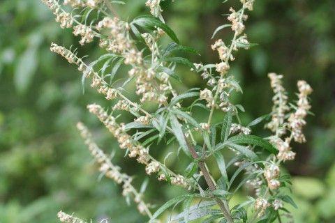 Растение, убивающее 98% рако…