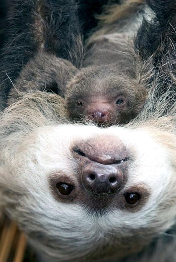 Sloth mom and newborn