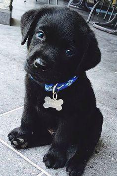 Cutest black lab puppy!